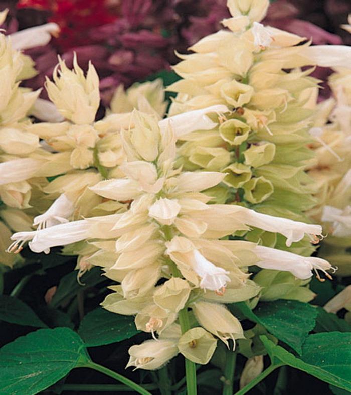 Белая сальвия цветов в клумбе